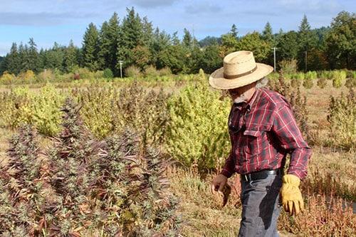 Agricultor cosechando plantas de cáñamo durante la temporada.