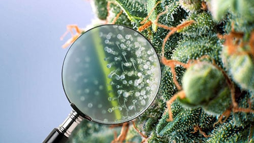 Image of trichomes in cbd hemp seeds