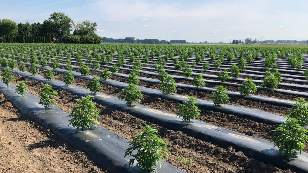 Image of field of new sprouted cbd hemp seeds