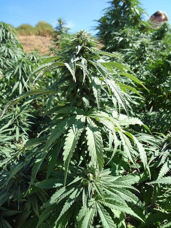 High cbd hemp plants that are starting flower in our hemp farming guide.