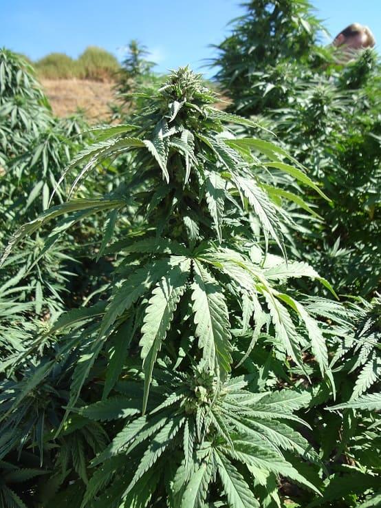 Plantas de cáñamo con alto contenido de CBD que están comenzando a florecer en nuestra guía de cultivo de cáñamo.