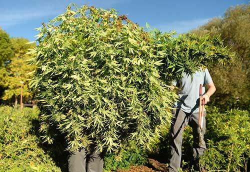 Image of laborer holding bush of hemp biomass