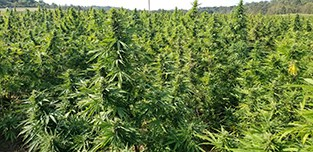 field of hemp biomass