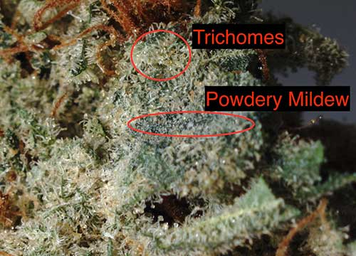 showing difference of trichomes and mildew in hemp biomass