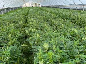 scrooged how to grow cbd strains field pics