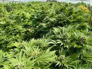 cbg how to grow cbd strains plants